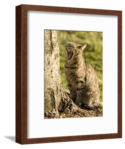 Domestic Cat Yawning by a Tree, Pennsylvania-Tim Laman-Framed Art Print