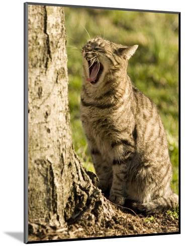 Domestic Cat Yawning by a Tree, Pennsylvania-Tim Laman-Mounted Photographic Print