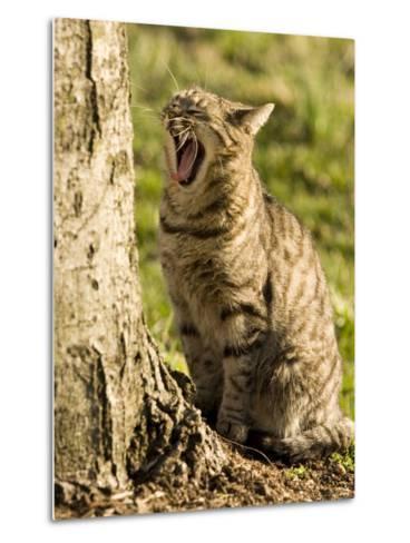Domestic Cat Yawning by a Tree, Pennsylvania-Tim Laman-Metal Print