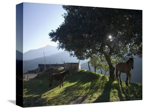 Horse, Colt as Dawn Shines Through Tree by House in Venezuelan Andes-David Evans-Stretched Canvas Print