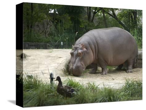 Hippo at the Toledo Zoo-Joel Sartore-Stretched Canvas Print