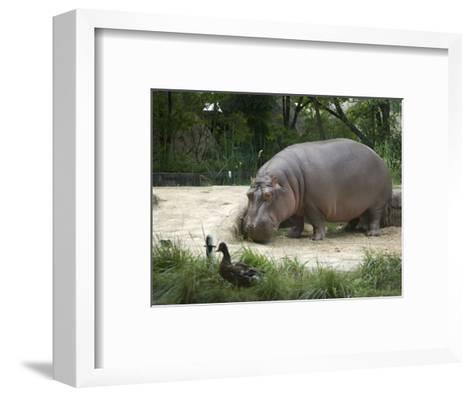Hippo at the Toledo Zoo-Joel Sartore-Framed Art Print