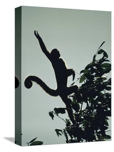 Grey Wooly Monkey Hurls Itself from a Bough in the Rain Forest-Mattias Klum-Stretched Canvas Print