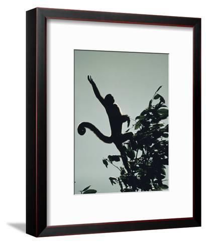 Grey Wooly Monkey Hurls Itself from a Bough in the Rain Forest-Mattias Klum-Framed Art Print