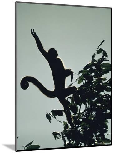 Grey Wooly Monkey Hurls Itself from a Bough in the Rain Forest-Mattias Klum-Mounted Photographic Print