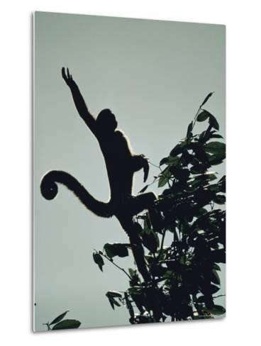 Grey Wooly Monkey Hurls Itself from a Bough in the Rain Forest-Mattias Klum-Metal Print