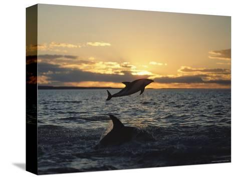 Dusky Dolphins-Bill Curtsinger-Stretched Canvas Print