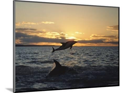 Dusky Dolphins-Bill Curtsinger-Mounted Photographic Print