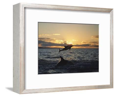 Dusky Dolphins-Bill Curtsinger-Framed Art Print
