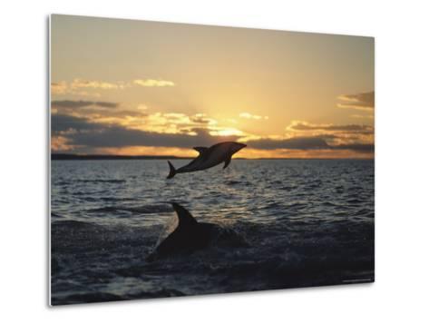 Dusky Dolphins-Bill Curtsinger-Metal Print
