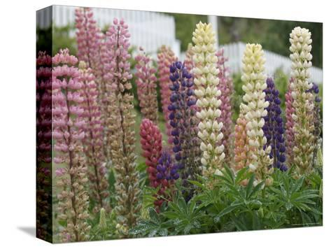 Norway, Hidra, Lupins and Lilies-Brimberg & Coulson-Stretched Canvas Print