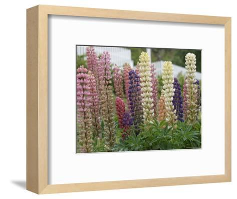 Norway, Hidra, Lupins and Lilies-Brimberg & Coulson-Framed Art Print