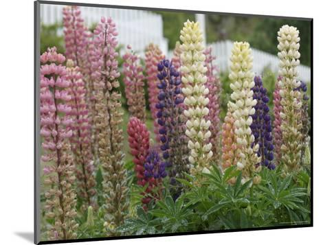 Norway, Hidra, Lupins and Lilies-Brimberg & Coulson-Mounted Photographic Print
