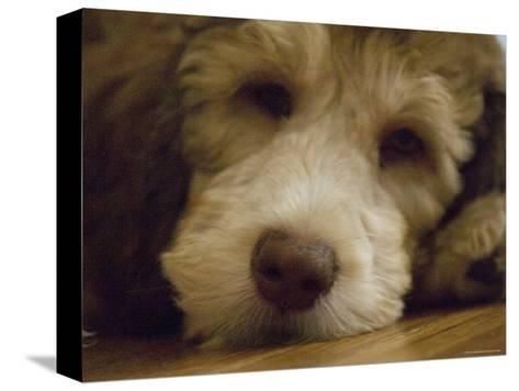 Puppy Rests on a Wood Floor, Lincoln, Nebraska-Joel Sartore-Stretched Canvas Print