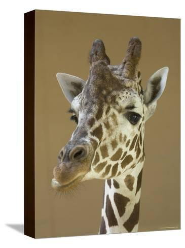 Reticulated Giraffe Makes a Slanted Grin at the Henry Doorly Zoo, Nebraska-Joel Sartore-Stretched Canvas Print
