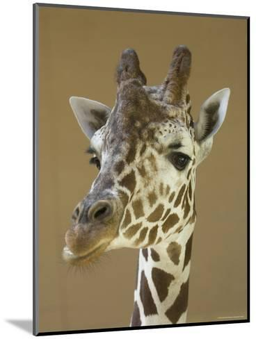 Reticulated Giraffe Makes a Slanted Grin at the Henry Doorly Zoo, Nebraska-Joel Sartore-Mounted Photographic Print