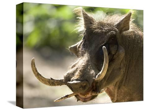 Mean Looking Warthog with Very Long Tusks Looks at the Camera, Henry Doorly Zoo, Nebraska-Joel Sartore-Stretched Canvas Print