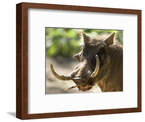 Mean Looking Warthog with Very Long Tusks Looks at the Camera, Henry Doorly Zoo, Nebraska-Joel Sartore-Framed Art Print