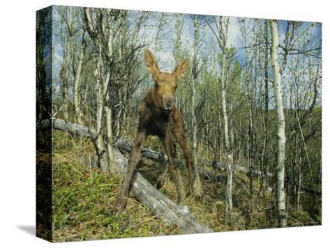 Newborn Calf Moose Stands in a Quaking Aspen Grove, Alaska-Michael S^ Quinton-Stretched Canvas Print