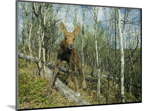 Newborn Calf Moose Stands in a Quaking Aspen Grove, Alaska-Michael S^ Quinton-Mounted Photographic Print