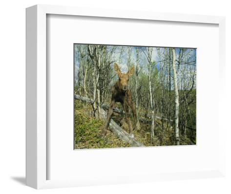 Newborn Calf Moose Stands in a Quaking Aspen Grove, Alaska-Michael S^ Quinton-Framed Art Print