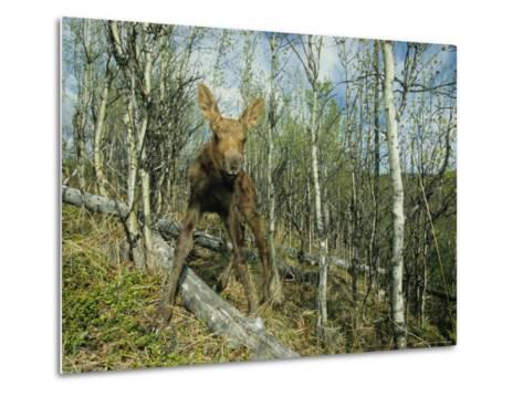 Newborn Calf Moose Stands in a Quaking Aspen Grove, Alaska-Michael S^ Quinton-Metal Print