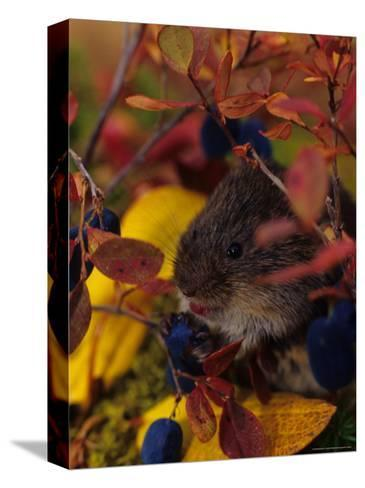Red Backed Vole with Blueberry, Alaska-Michael S^ Quinton-Stretched Canvas Print