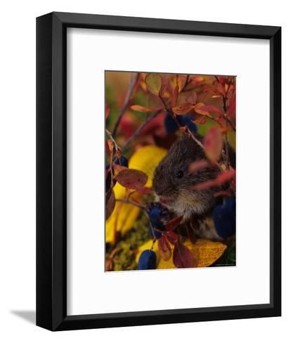 Red Backed Vole with Blueberry, Alaska-Michael S^ Quinton-Framed Art Print
