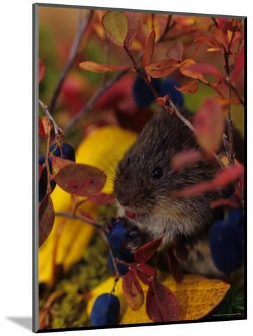Red Backed Vole with Blueberry, Alaska-Michael S^ Quinton-Mounted Photographic Print