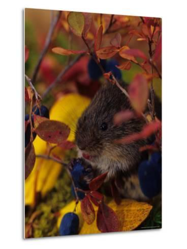 Red Backed Vole with Blueberry, Alaska-Michael S^ Quinton-Metal Print