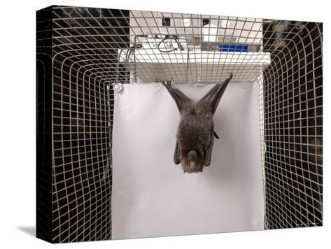 Rodrigues Fruit Bat, Lincoln, Nebraska-Joel Sartore-Stretched Canvas Print