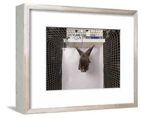 Rodrigues Fruit Bat, Lincoln, Nebraska-Joel Sartore-Framed Art Print