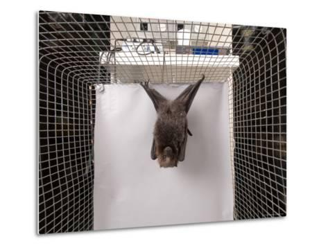 Rodrigues Fruit Bat, Lincoln, Nebraska-Joel Sartore-Metal Print