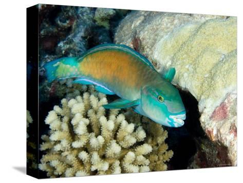 Parrotfish with Coral, Takapoto Atoll, French Polynesia-Tim Laman-Stretched Canvas Print