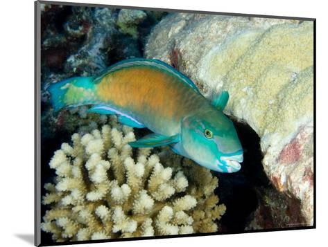Parrotfish with Coral, Takapoto Atoll, French Polynesia-Tim Laman-Mounted Photographic Print