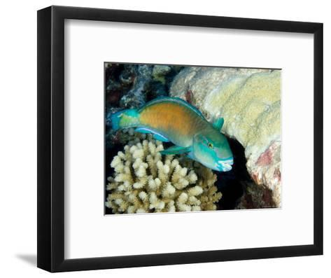 Parrotfish with Coral, Takapoto Atoll, French Polynesia-Tim Laman-Framed Art Print