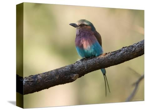 Lilac-Breasted Roller at the Kansas City Zoo-Joel Sartore-Stretched Canvas Print