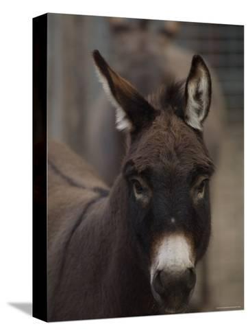 Miniature Donkey at the Riverside Zoo-Joel Sartore-Stretched Canvas Print
