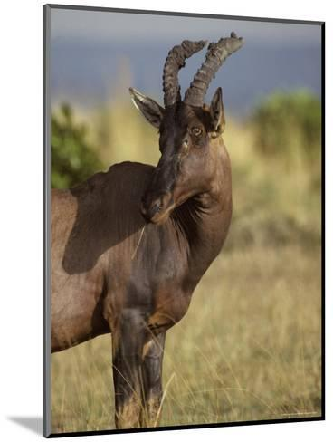 Portrait of a Topi Wth Ears Alert Showcasing its Horns-Jason Edwards-Mounted Photographic Print
