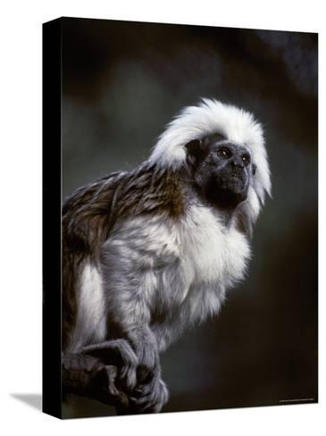 Portrait of a Cotton-Top Tamarin, and Detail of Fur Coat and Face, Melbourne Zoo, Australia-Jason Edwards-Stretched Canvas Print