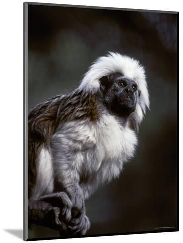 Portrait of a Cotton-Top Tamarin, and Detail of Fur Coat and Face, Melbourne Zoo, Australia-Jason Edwards-Mounted Photographic Print