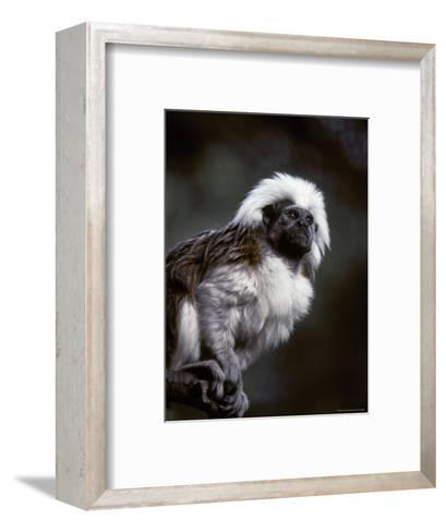 Portrait of a Cotton-Top Tamarin, and Detail of Fur Coat and Face, Melbourne Zoo, Australia-Jason Edwards-Framed Art Print
