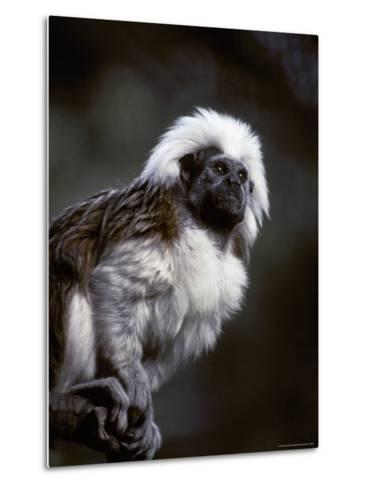 Portrait of a Cotton-Top Tamarin, and Detail of Fur Coat and Face, Melbourne Zoo, Australia-Jason Edwards-Metal Print