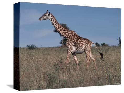 Masai Giraffe Strolling the Grasslands of Kenya-Ira Block-Stretched Canvas Print