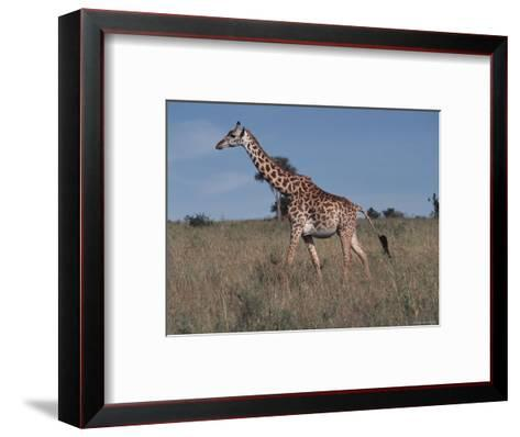 Masai Giraffe Strolling the Grasslands of Kenya-Ira Block-Framed Art Print