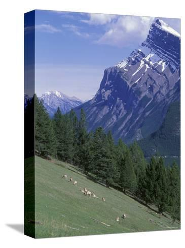 Rocky Mountain Bighorn Sheep and Mount Rundle-Rich Reid-Stretched Canvas Print