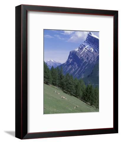 Rocky Mountain Bighorn Sheep and Mount Rundle-Rich Reid-Framed Art Print
