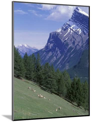 Rocky Mountain Bighorn Sheep and Mount Rundle-Rich Reid-Mounted Photographic Print