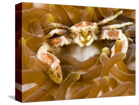 Porcelain Crab in a Sea Anemone, Malapascua Island, Philippines-Tim Laman-Stretched Canvas Print