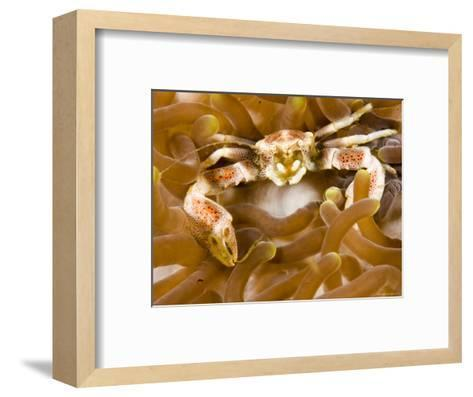 Porcelain Crab in a Sea Anemone, Malapascua Island, Philippines-Tim Laman-Framed Art Print